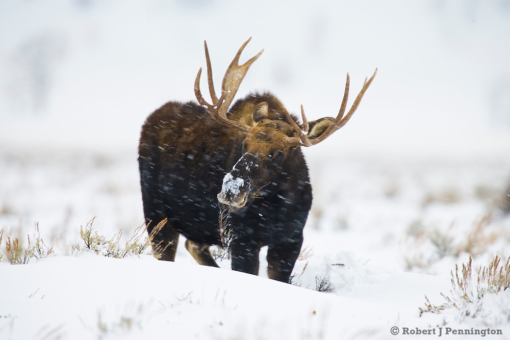A Bull Moose forages during a winter snow storm in Jackson Wyoming.