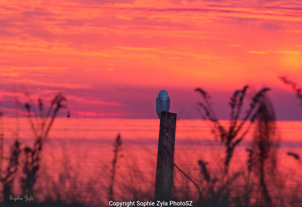 As the Sun Set around Snowy Owl