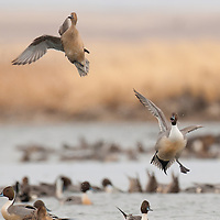 pintail drakes taking off over water taking off