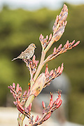 Red Poll on flax, Southland, New Zealand