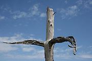 Cross shaped petrified tree, Jekyll Island