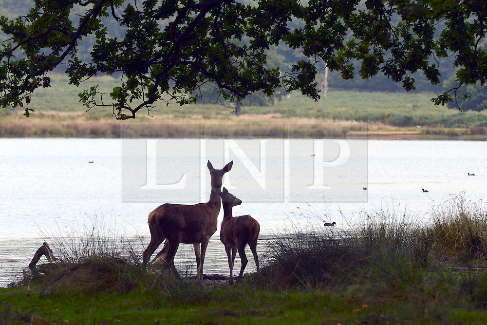 © Licensed to London News Pictures. 29/09/2013. Richmond, UK Two deer rest near some water. A deer stag walks in the early morning at Richmond Park on September 29th 2013 in London, England. Autumn sees the start of the 'Rutting' season where the large deer stags can be heard roaring and barking in an attempt to attract females known as bucks. The larger males can also be seen clashing antlers with rival males.. Photo credit : Stephen Simpson/LNP