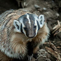 Badger - Taxidea taxus