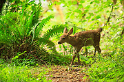Blacktail deer fawn in the Sol Duc forest, Olympic National Park.