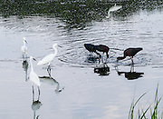 Glossy Ibis (Plegadis falcinellus) feed in a pond near Snowy Egrets (bright white birds). Assateague Island is within Chincoteague National Wildlife Refuge, in the Atlantic Ocean off the coast of the Virginia Eastern Shore, USA, and can be reached by road from Chincoteague Island via a bridge over Assateague Channel.