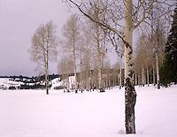 Aspens in winter Grand Teton National Park Wyoming USA
