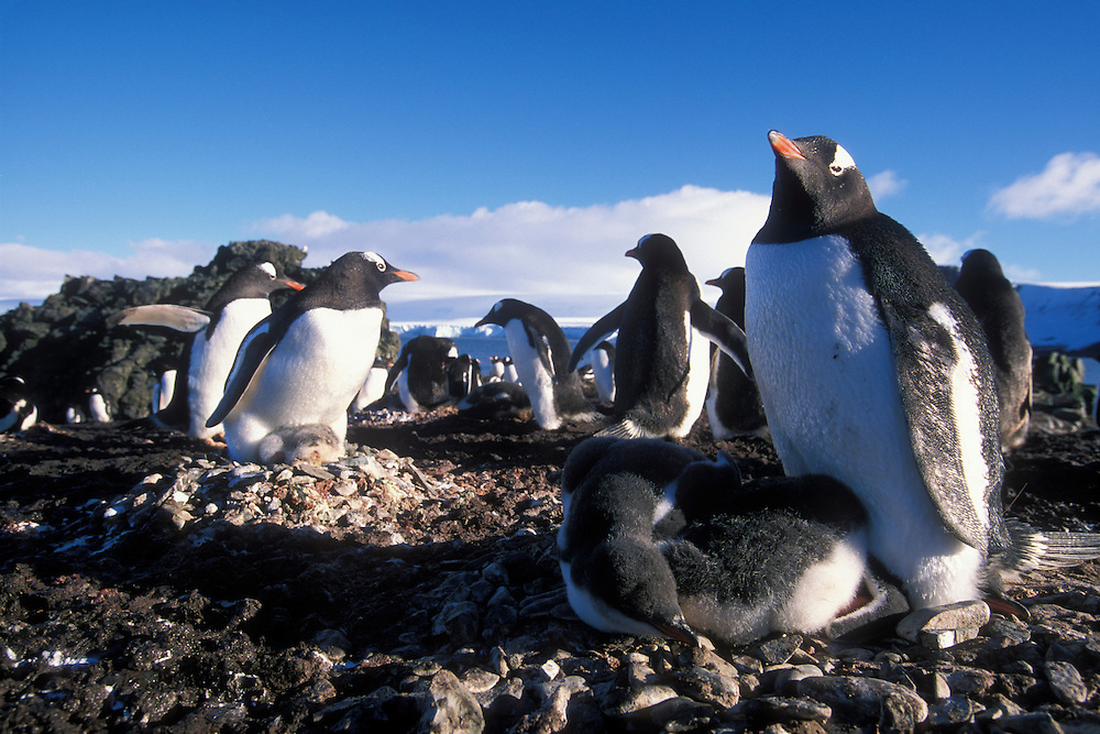 Antarctica, Livingston Island, Hannah Point, Gentoo penguin (Pygoscelis papua) incubates young chicks on nest in rookery