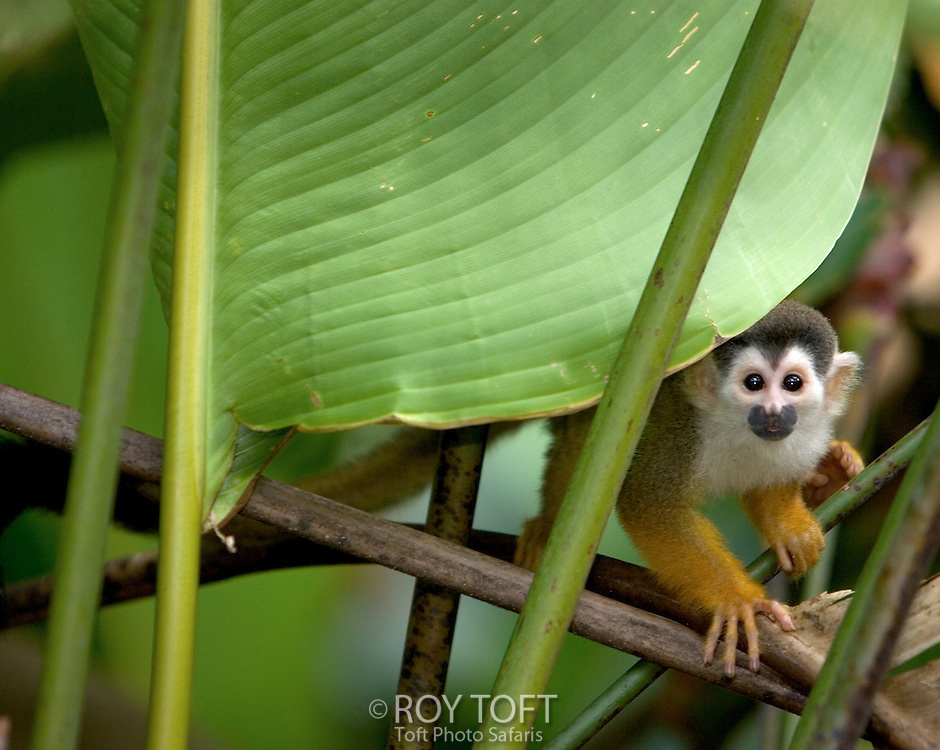 A squirrel monkey (Saimiri oerstedii) peers from behind a tree leaf, Costa Rica.