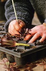 Taking cuttings from tender plants (Aeonium arboreum 'Zwartkop'). Planting into tray
