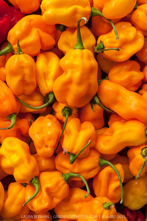 Red and yellow Scotch Bonnet peppers