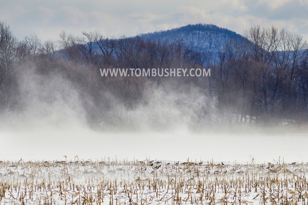 Wawayanda, New York - Strong winds blow snow in the distance  as Canada geese and crows feed in a cornfield on Jan. 30, 2015.