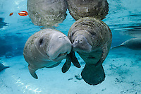 Florida manatee, Trichechus manatus latirostris, a subspecies of the West Indian manatee, endangered. A series of an adult female manatee who checks in on a male calf that is alone in the springs. There is tender tactile interaction, socialization, and evident caring. The two manatees engage in tenderly touching snouts and flippers. Horizontal orientation with blue water from the spring and other manatee below with reflections, and sun rays. Three Sisters Springs, Crystal River National Wildlife Refuge, Kings Bay, Crystal River, Citrus County, Florida USA.
