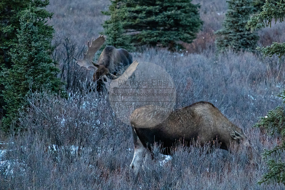 A bull Alaskan moose rakes his antlers against a bush as he attempts to attract a female during the autumn rut in Denali National Park, McKinley Park, Alaska.