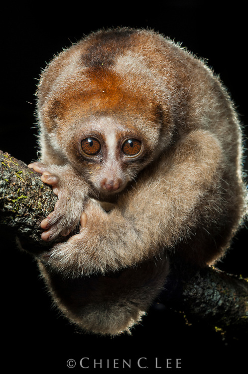A newly distinguished species, the Kayan Loris (Nycticebus kayan) differs from other Bornean loris species by a combination of morphological traits.