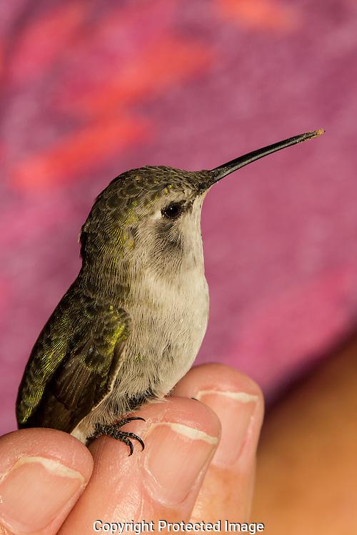 Tiny female Costa's Hummingbird sets on Darnell's finger tips.