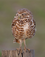 Burrowing owl hunting from a fence post, briefly closes its eyes © 2011 David A. Ponton