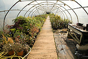 Bushes and shrubs growing inside nursery plastic poly-tunnel