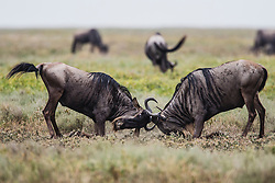 Two wildebeest males (Connochaetes) fighting on the Serengeti plain, Ndutu, Ngorongoro Conservation Area, Tanzania, Africa