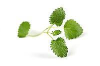 Close-up of fresh mint on white background