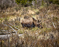 Lone Moose. Rocky Mountain National Park. Image taken with a Nikon D2xs camera and 70-200 mm f/2.8 lens and TC-E 1.4 teleconverter (ISO 100, 280 mm, f/4, 1/1000 sec).