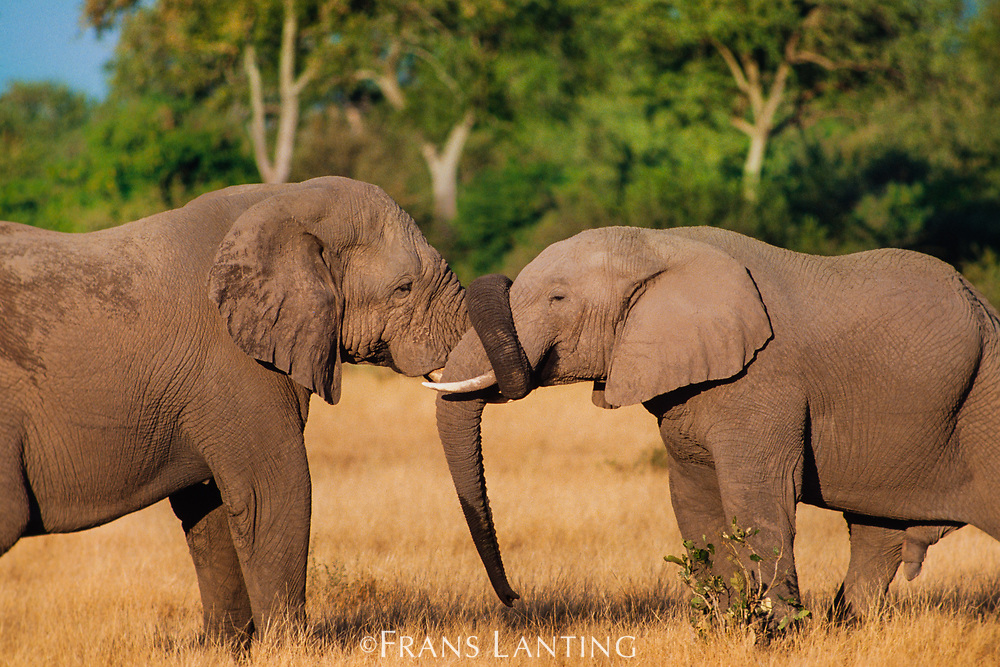 African elephants greeting, Chobe National Park, Botswana