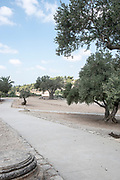 Olive trees in the Zippori (Sepphoris) National Park A mishnaic-period city with an abundance of mosaics, Israel