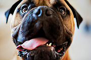 &quot;He's a teacup Bullmastiff,&quot; Mayli Mrkward of 120-pound, three-year-old Meaty. This breed of dog weighs up to 150 pounds, and Meaty is at the low end of the scale.<br /> <br />  Mayli, her husband Darren and Meaty also share their Parry Hall home with Zippy, a three-year-old French Bulldog. Zippy, despite being much smaller, is in control with size not making a difference.