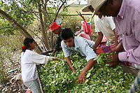 Workers try to filter out the seeds from picked coca leaves in El Rosario, Nariño, in southwestern Colombia, on July 15, 2008. Nariño is a one of Colombia's most troubled departments; with wide spread coca cultivation and the presence of illegal armed groups vying for control of the coca business. (Photo/Scott Dalton)