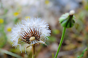 Dandelion - Fluffy seed ball. Photographed in Israel in April