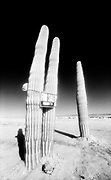 Three Cactus for sale, Nevada, USA