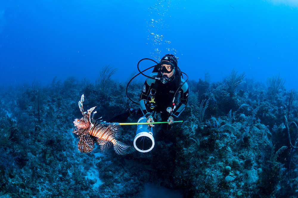 A spear fisherman looks for approaching predators. While sharks pose almost no threat to scuba divers having a dying, bloody fish on the end of a spear changes the game. Lionfish cullers must be aware of their surroundings.
