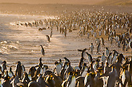 King penguins at tideline, Aptenodytes patagonicus, South Georgia Island