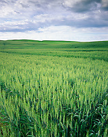 Wheatfields in the Palouse Region of Washington USA