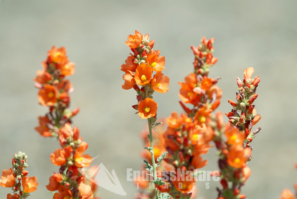 Globe Mallow is an orange wildflower that is found almost everywhere in the western states.