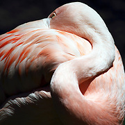 A closeup of a Flamingo, Phoenicopteridae, resting with its beak buried in its feathers. Cape May County Zoo, Cape May Courthouse, New Jersey, USA.