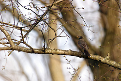 09 April 2005:   A red breasted robin sits on a branch in a tree in the spring and is surrounded by the buds of the leaves.