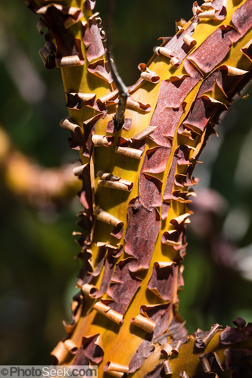 Red bark of a manzanita shrub (genus Arctostaphylos) peals in a pattern revealing bright orange underneath. Castle Crags State Park is just west of Interstate 5, between the towns of Castella and Dunsmuir, in California, USA.