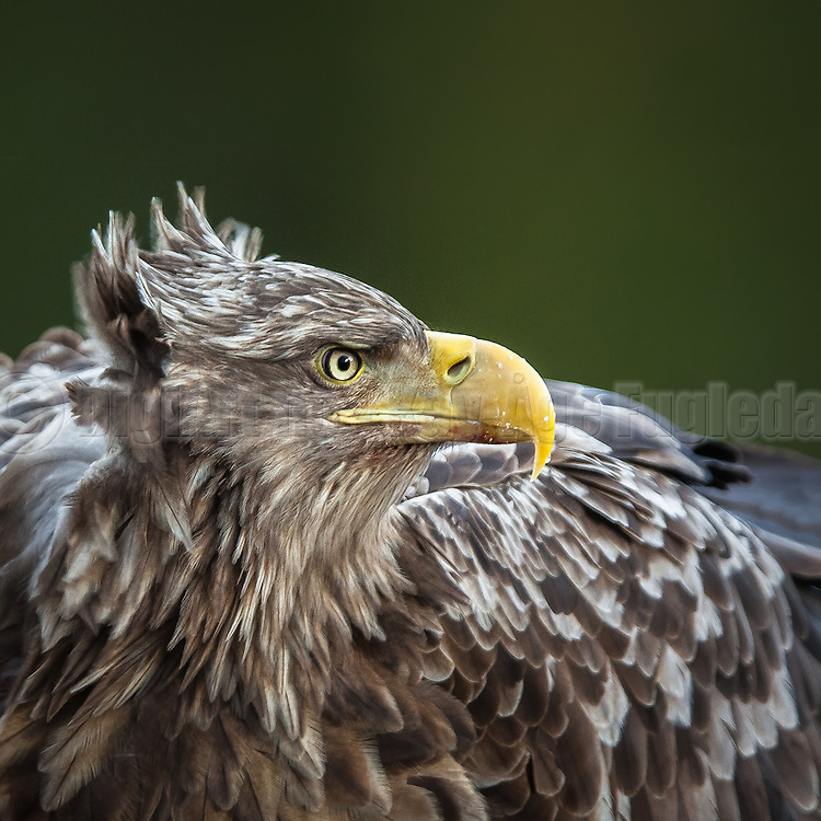 Closeup portrait of White-tailed Eagle | Nærportrett av Havørn