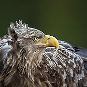 Closeup portrait of White-tailed Eagle | Nærportrett av Havørn