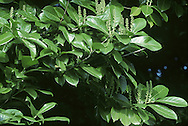 Cherry Laurel Prunus laurocerasus Rosaceae Height to 8m<br /> Evergreen shrub or small tree. Bark Dark grey-brown, pitted with lenticels. Branches Dense, with pale-green twigs. Leaves Leathery, to 20cm long and oblong. Reproductive parts Flowers white, fragrant, in erect spikes to 13cm long. Fruits rounded, green, turning red, ripening blackish-purple. Status Introduced, widely planted and sometimes naturalised.