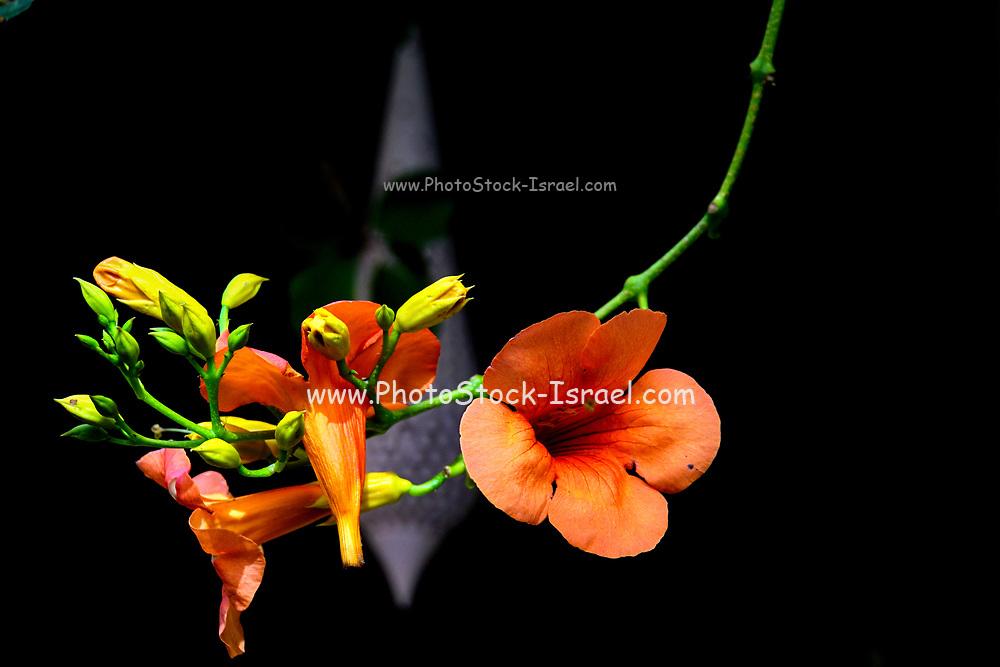 Close up of a stemmed orange flower