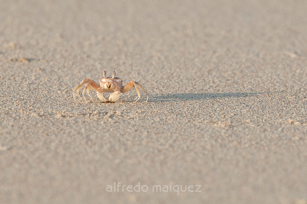 Crab walking on the sand of the beach at Pacheca island shore. Las Perlas Archipelago, Panama Province, Panama, Central America.