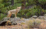A Coyote in Rocky Mountain National Park jumped up on this rock to get a better look around