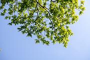 college green, Mapp Athens, summer, Tree Tour, Black Walnut