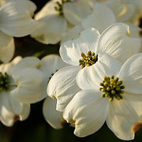 A white dogwood blooms in Lexington, Ky., on 4/12/10. Photo by David Stephenson