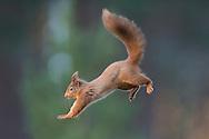 Red squirrel (Sciurus vulgaris) in mid flight in forest, Scotland.