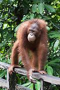 Bornean Orangutan walking on all fours, Pongo pygmaeus morio, Orang Utan Sanctuary Sepilok, Sabah, Borneo