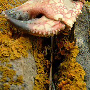 A crab claw bleaches in the sun on a rock where lichen grows on a Maine Island in Penobscot Bay. .Seagulls often take crabs from their usual habitat, in tide pools along the shore, and drop them from great heights on the rocky beach, breaking their shells. The gulls eat the interior of the body and leave behind the hard and heavy claws. When the claw dries, it changes color from its original green or brown to a red or orange. Eventually, the shell will bleach completely white, become paper thin and disintegrate. ..Lichen, of the kingdom Fungi, commonly grows on rocks and trees on the Maine coast. It grows in many different colors including yellow, red, green and grey -- depending on the area, the and the amount of moisture in the area. It often lives in symbiosis with algae, without which it will not grow on the rock. The combined efforts of Lichen and algae digs tiny grooves into the surface of the host rock which assist the process of erosion. Water often collects in the grooves and, in the winter, freezes, cracking additional rock away, making an easy channel for more water and a protected space for more lichen. Eventually, the rocks give way to sand, and soil, where grasses can grow. .Lichen plays an extremely important part of the food chain. .Lichen is also very susceptible to the effects of air pollution. Lichen will be among the first creatures to be affected by poor air quality. Photo and caption by Roger S. Duncan.