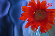 red gerbera daisy with contoured blue glass background