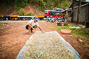 "09 MARCH 2013 - ALONG HIGHWAY 13, LAOS: A man sets out ""pla noi"" (literally ""small fish"") to dry in the sun at a rest stop on Highway 13. Hmong hilltribe people have set up a market at the stop. The paving of Highway 13 from Vientiane to near the Chinese border has changed the way of life in rural Laos. Villagers near Luang Prabang used to have to take unreliable boats that took three hours round trip to get from the homes to the tourist center of Luang Prabang, now they take a 40 minute round trip bus ride. North of Luang Prabang, paving the highway has been an opportunity for China to use Laos as a transshipping point. Chinese merchandise now goes through Laos to Thailand where it's put on Thai trains and taken to the deep water port east of Bangkok. The Chinese have also expanded their economic empire into Laos. Chinese hotels and businesses are common in northern Laos and in some cities, like Oudomxay, are now up to 40% percent. As the roads are paved, more people move away from their traditional homes in the mountains of Laos and crowd the side of the road living off tourists' and truck drivers.    PHOTO BY JACK KURTZ"
